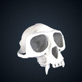3d model of Procolobus verus: Cranium