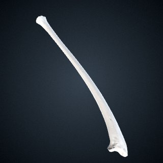 3d model of Pan paniscus: Ulna Right