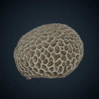 3d model of Astraea (Fissicella) favistella