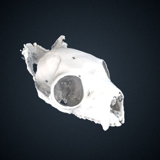 3d model of Propithecus deckenii: Cranium