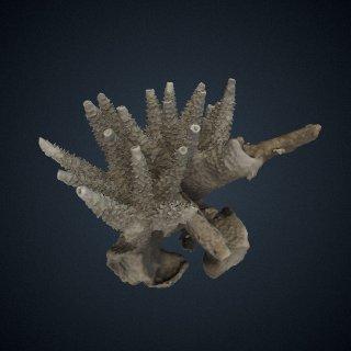 3d model of Acropora cervicornis