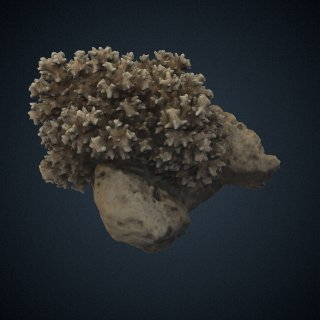 3d model of Pocillopora damicornis