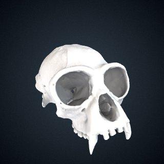 3d model of Hylobates agilis: Cranium