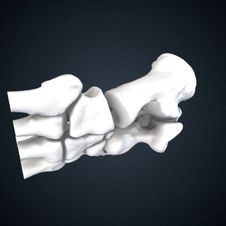 3d model of Pongo abelii: Tarsals Articulated Right