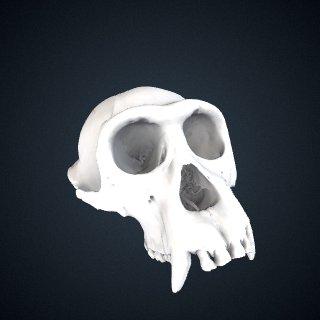 3d model of Pan troglodytes verus: Cranium