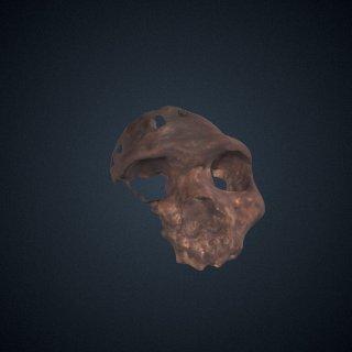 3d model of Homo heidelbergensis: cranium