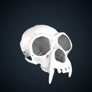 3d model of Hylobates lar entelloides: Cranium
