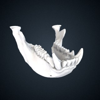 3d model of Piliocolobus badius badius: Mandible