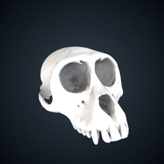 3d model of Macaca arctoides: Cranium