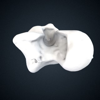 3d model of Gorilla gorilla gorilla: Talus Left