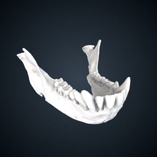 3d model of Cercopithecus ascanius schmidti: Mandible