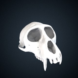 3d model of Cercopithecus nictitans martini: Cranium