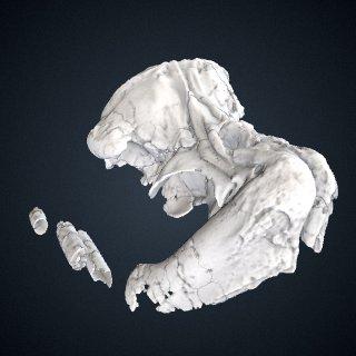 3d model of Odobenocetops peruvianus De Muizon