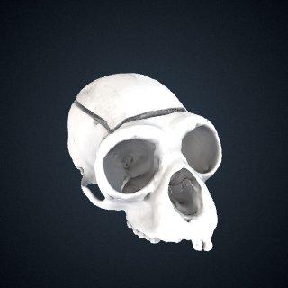 3d model of Hoolock hoolock x Hylobates agilis: Cranium