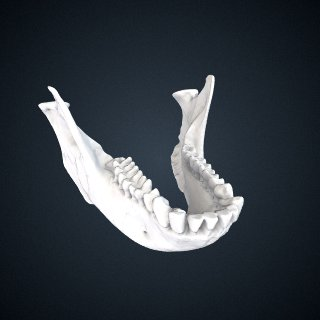 3d model of Trachypithecus obscurus sanctorum: Mandible