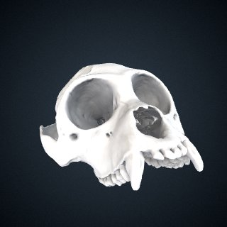 3d model of Alouatta palliata: Cranium