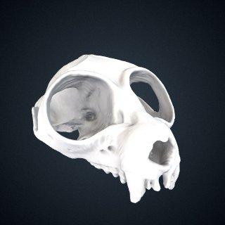 3d model of Nycticebus bengalensis: Cranium