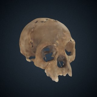 3d model of Homo floresiensis: cranium