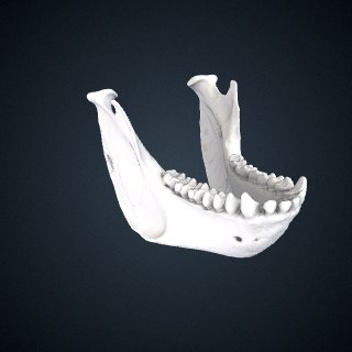 3d model of Alouatta macconnelli: Mandible