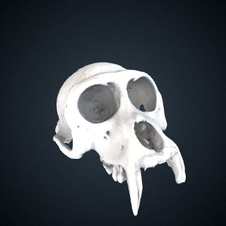 3d model of Macaca radiata: Cranium