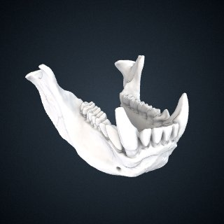 3d model of Piliocolobus tephrosceles: Mandible