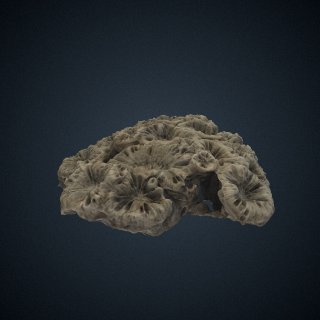 3d model of Scolymia australis