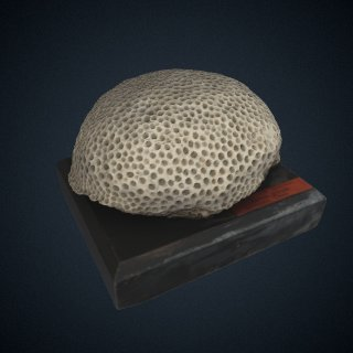 3d model of Astraea (Orbicella) coronata