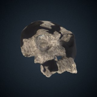 3d model of Homo habilis: cranium