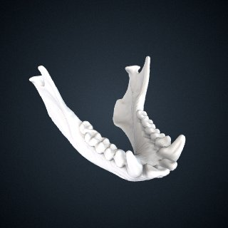 3d model of Leontopithecus rosalia: Mandible