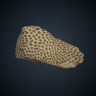 3d model of Astraea (Fissicella) pulchra
