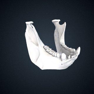 3d model of Alouatta seniculus seniculus: Mandible