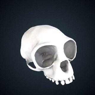 3d model of Hylobates pileatus: Cranium