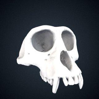 3d model of Simias concolor Miller, 1903: Cranium