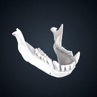 3d model of Cercopithecus albogularis kolbi: Mandible