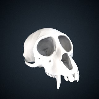 3d model of Cercopithecus mona: Cranium