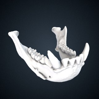 3d model of Hylobates albibarbis: Mandible