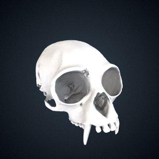 3d model of Hylobates lar vestitus: Cranium