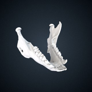 3d model of Propithecus coquereli: Mandible