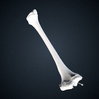 3d model of Pongo abelii: Tibia right