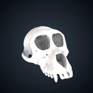 3d model of Macaca thibetana: Cranium