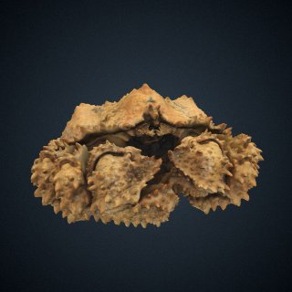 3d model of Lopholithodes foraminatus