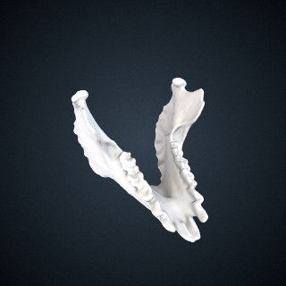 3d model of Avahi laniger: Mandible