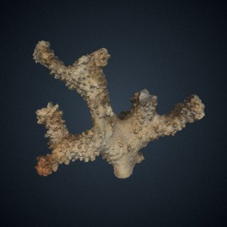 3d model of Pocillopora molokensis