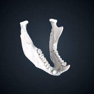 3d model of Alouatta pigra: Mandible