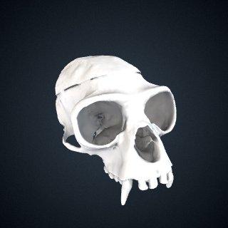 3d model of Hylobates muelleri muelleri: Cranium