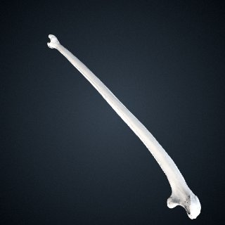 3d model of Pongo abelii: Ulna Left