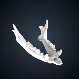 3d model of Eulemur mongoz: Mandible