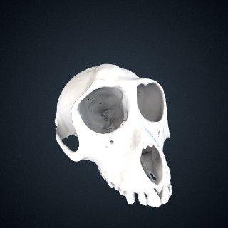 3d model of Macaca cyclopis: Cranium