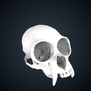 3d model of Lagothrix lagotricha: Cranium