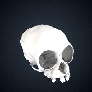 3d model of Hylobates klossii: Cranium